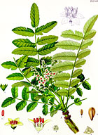 フランキンセンス植物