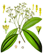 シナモン植物