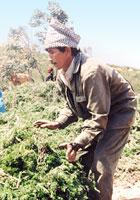 ローズマリー収穫
