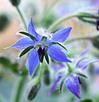 ボレジオイル-花