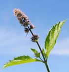 ペパーミントの植物