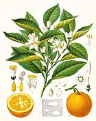プチグレイン(ビターオレンジ)の植物
